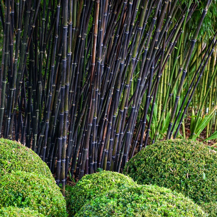 10 Different Types Of Bamboo Better Homes And Gardens