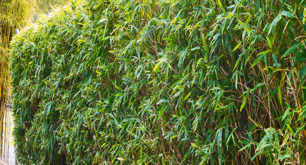 The Best Of Clumping Bamboo Better Homes And Gardens