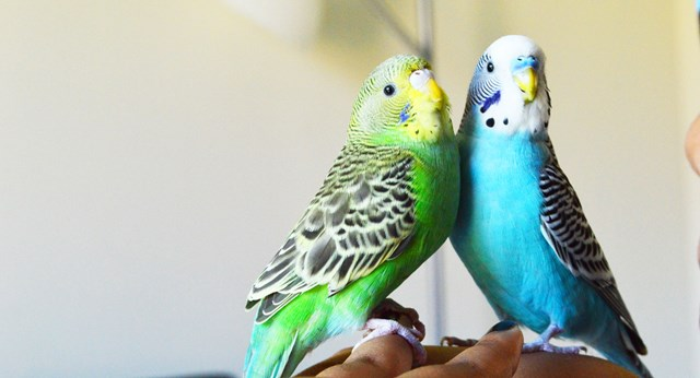 Learn how to start a family of budgies