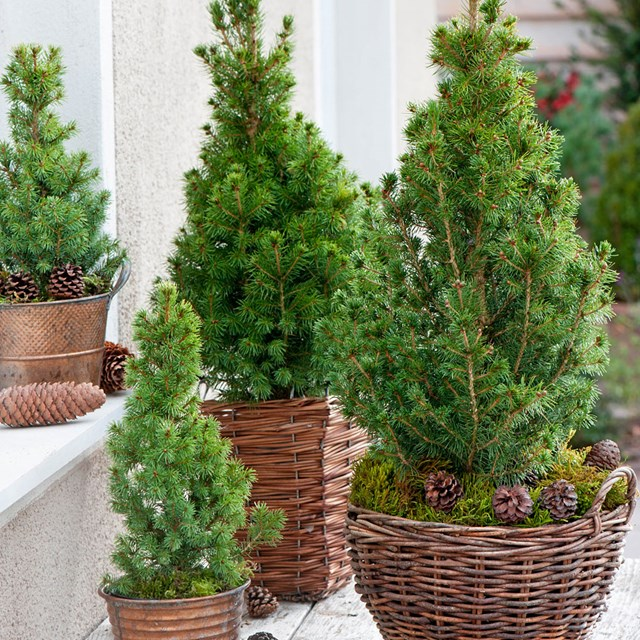 Plant your Christmas conifer