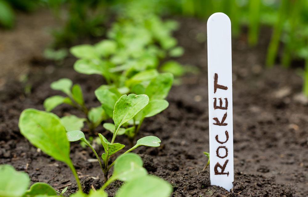 how to grow pocket rocket eruca sativa bhg