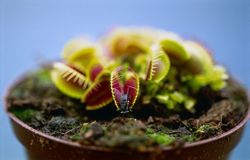Venus Fly Trap Adelaide